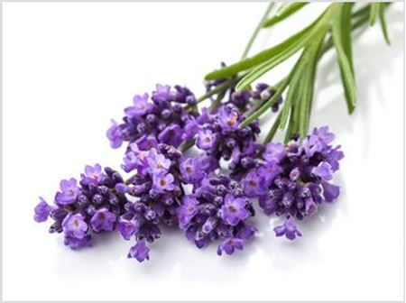Picture for category Lavender