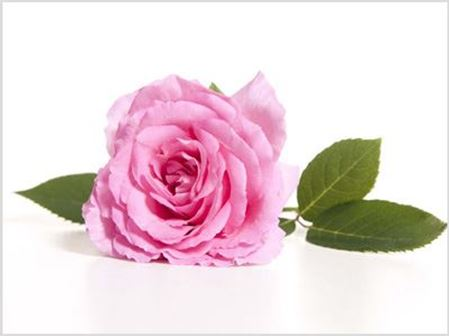 Picture for category Damask Rose