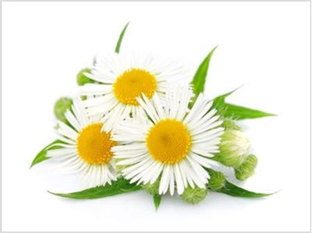Picture for category Chamomile